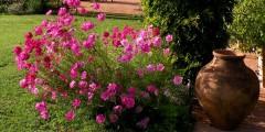 Nandina flowers 2