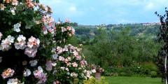 Roseto flowers